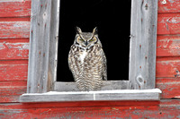 4. Great Horned Owl in Window of Abandoned Barn