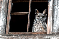 9. Great Horned Owl in Window of Abandoned Barn