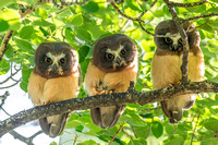 5. Juvenile Northern Saw-Whet Owls