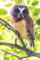 17. Juvenile Northern Saw-Whet Owl